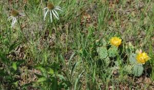 Echinacea and Opuntia