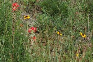 Indian paintbrush and Coreopsis