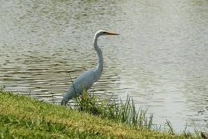 Great Egret 001