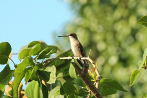 hummingbird 103