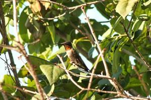 hummingbird 105