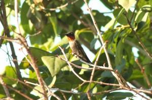 hummingbird 106