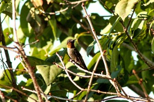hummingbird 108