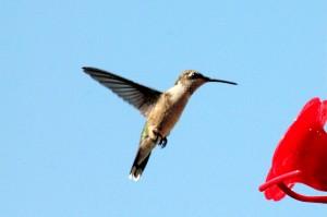 hummingbird 1110