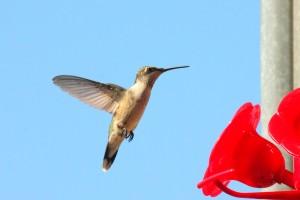 hummingbird 115