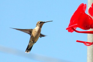 hummingbird 116