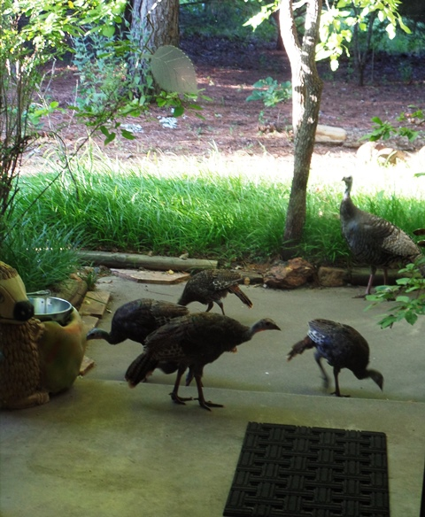 Turkeys at the door