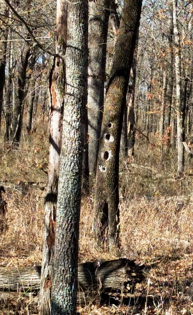 Pileated Woodpecker Holes in Dead Tree