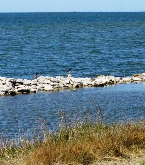 Can you find the American Oystercatcher?