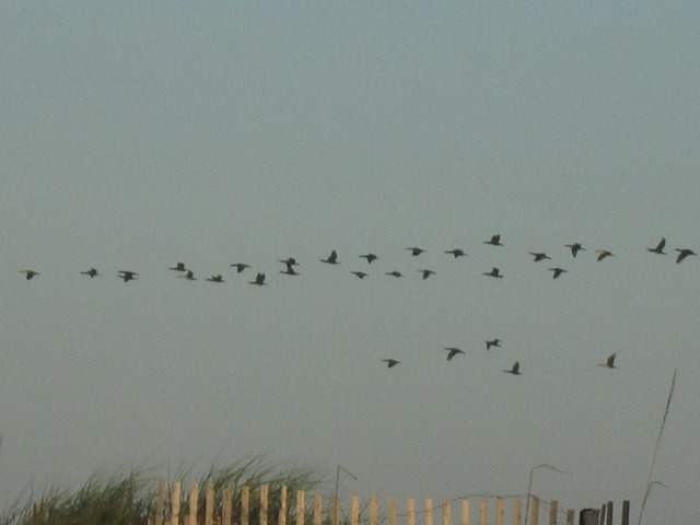 Cormorants flying over the dunes
