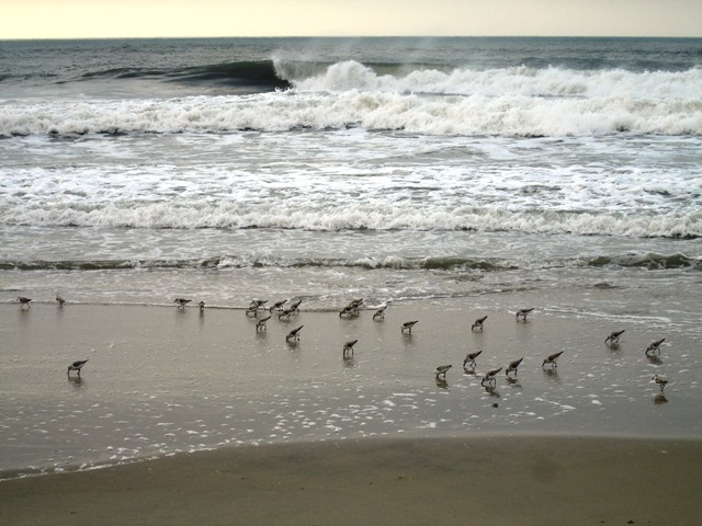 Sandpipers scavenging on Hatteras Island